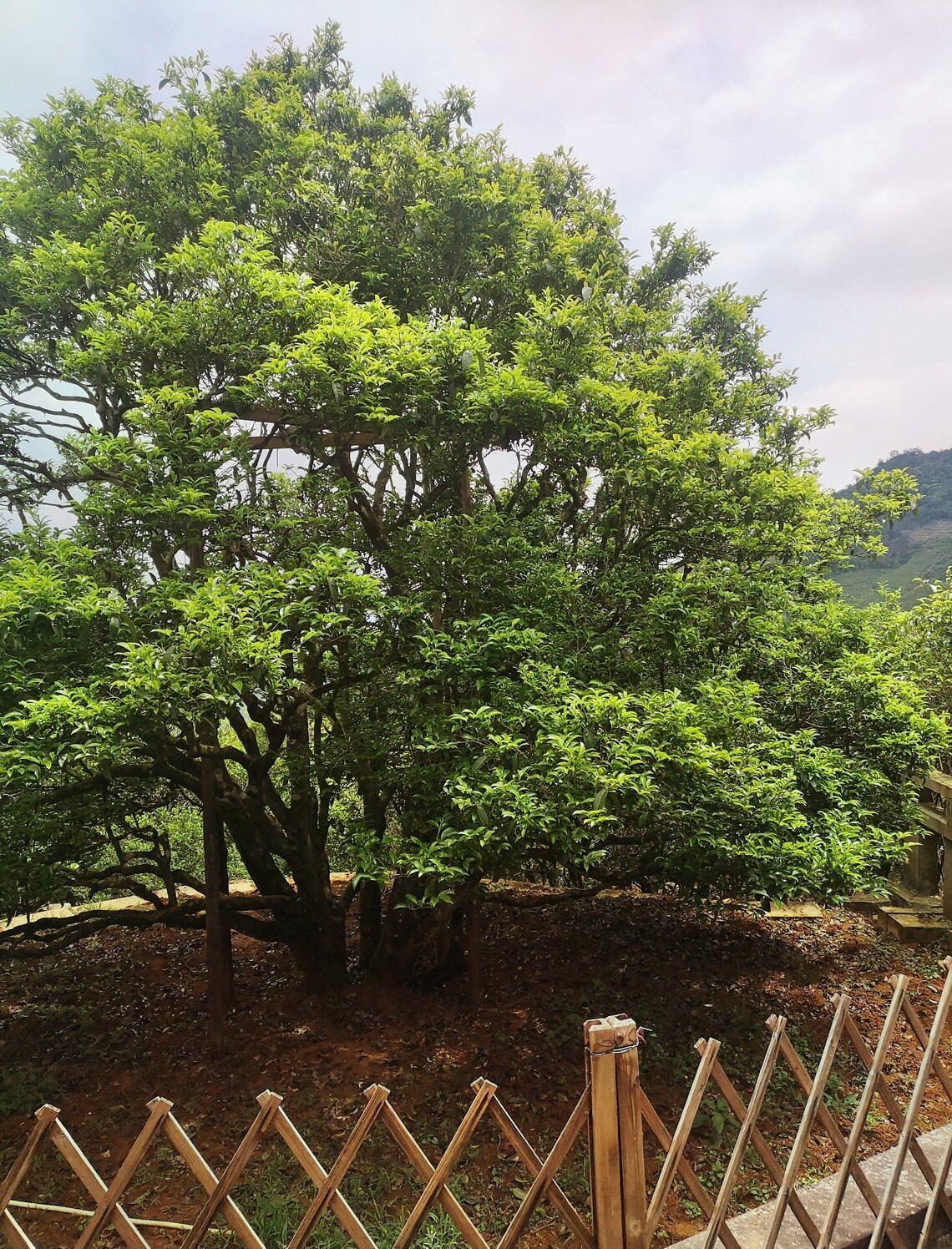 大庵的宋种单丛茶母树