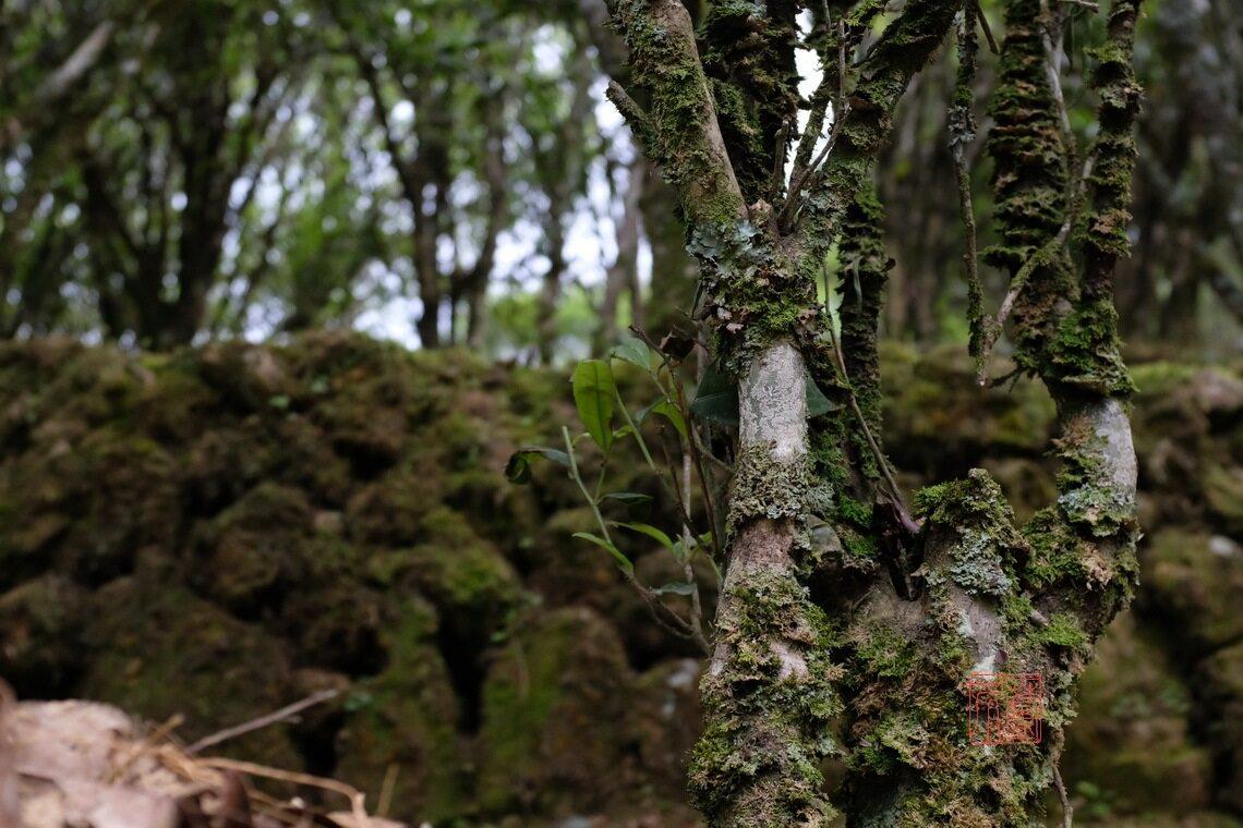 凤凰的古茶树