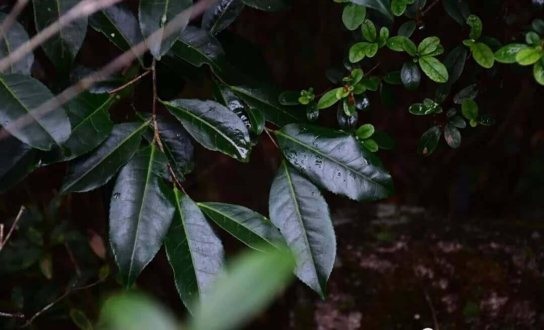 凤凰深山里的野生红茵茶树