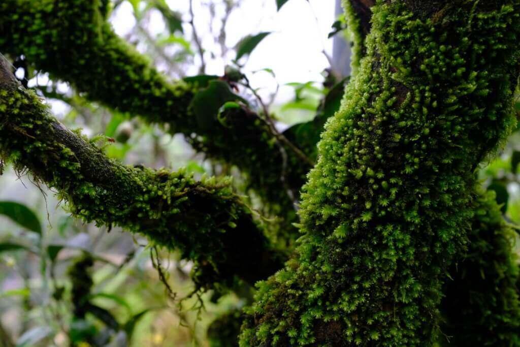 凤凰的老茶树